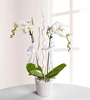 Çifte Güzellik 2 Dal Beyaz Orkide