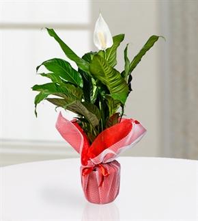Spatifilium (Barış Çiçeği)